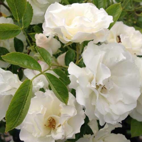 バラ苗 2年大株苗 CLサマースノー つるバラ 4号鉢 輸入新品種 花 鉢植 クォーター咲 微香