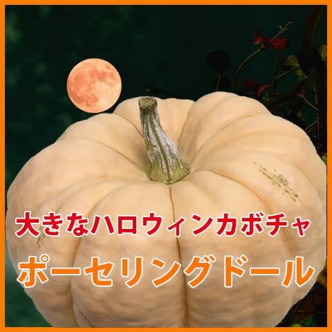 ハロウィン かぼちゃ カボチャ 生かぼちゃ 【 ポーセリングドール 大 1個 】 飾り 巨大 置物 装飾 オブジェ パンプキン オーナメント 屋