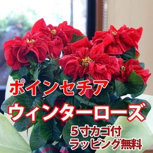 ポインセチア 送料無料 ウインターローズ 鉢植え 赤 レッド 鉢 クリスマスツリー 飾り イルミネーション プリンセチア ポインセチア 鉢