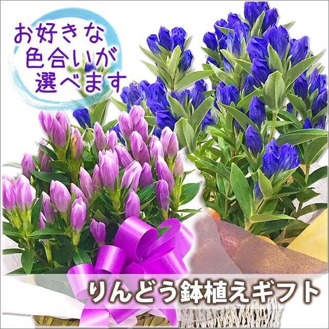 敬老の日 リンドウ プレゼント 鉢植え 色が選べる ブルー ピンク 5寸 5号 りんどう リンドウ 竜胆 敬老の日 お彼岸花鉢 ギフト 花 花