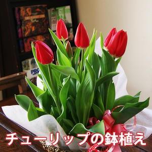 チューリップ 鉢植え 花 ギフト おしゃれ 【 色が選べる チューリップの鉢植え 5号 】 鉢 誕生日 結婚記念日 ホワイトデー ひな祭り 卒