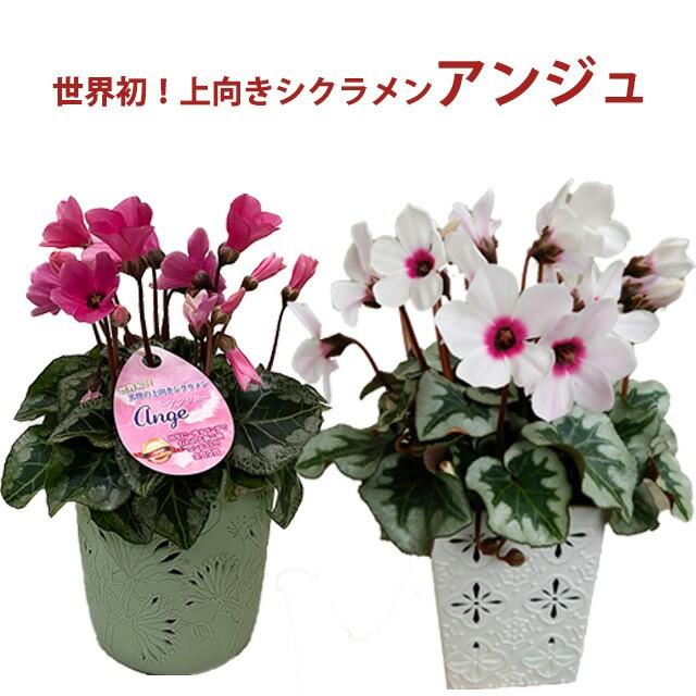 シクラメン アンジュ 3.5寸 上向きシクラメン 世界初 化粧鉢入り 送料無料 鉢花 ギフト お歳暮 ガーデンシクラメン ミニシクラメン新 品