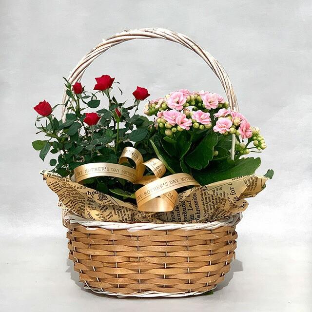 母の日 花 2021年 予約 寄せ植え 【 ベコニア カランコ エミニ薔薇 いずれか2鉢セット サンコフ sm-1 】 鉢植え 生花 花 プレゼント ギ