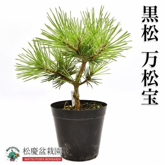 盆栽黒松【万松宝】(まんしょうほう)3年生盆栽用苗木bonsai販売