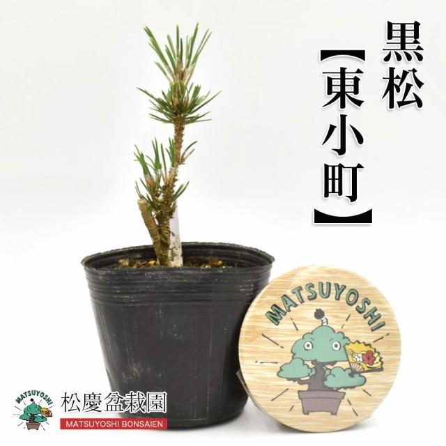 盆栽黒松【東小町】2年生盆栽用苗木bonsai販売