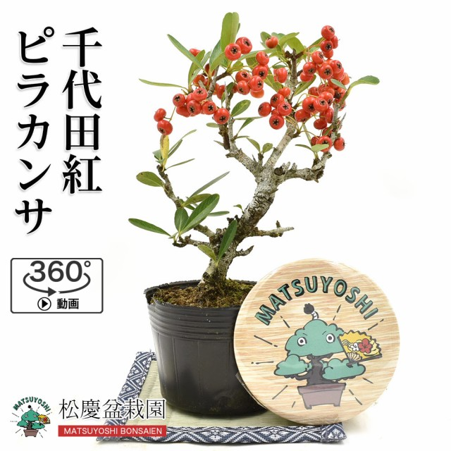 盆栽 千代田紅ピラカンサ 根上り 盆栽用 素材苗 実物 小品盆栽 ミニ盆栽 bonsai 販売