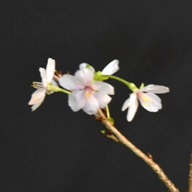 桜 苗 【紅乙女】 さくら ミニ盆栽用苗 (富士桜系) 一重咲 bonsai
