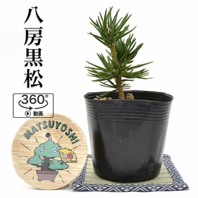 盆栽 松 八房黒松 寸梢 盆栽用苗木 接ぎ木素材 対応 bonsai 販売