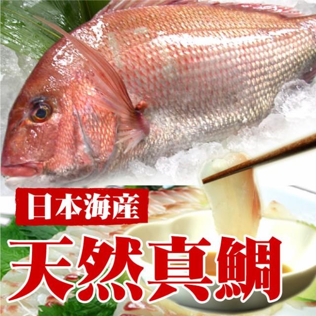 【日本海産】天然真鯛(1尾 1kg)/鮮魚/刺身/タイ/たい/日本海