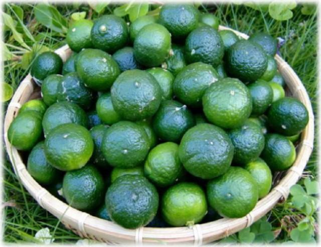 徳之島産 ヤマ・シークニン(シークワーサー)3kg 生シークニンもぎ立てそのまま。柑橘系中ノビレチンの含有量がダントツ。生を絞っ