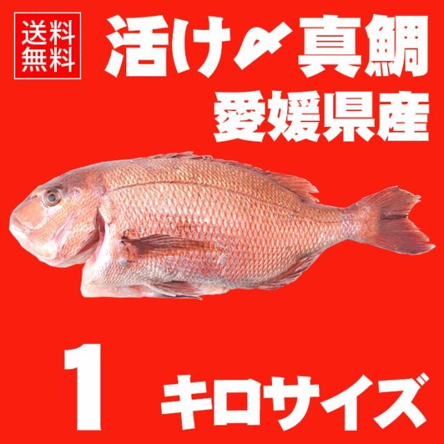 活け〆の真鯛を丸ごとお届け!1kgサイズ 【送料無料:北海道、沖縄除く】愛媛を筆頭に最良の鯛をお届けします!(養殖:クール冷蔵便)