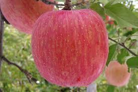 りんご5kg 山形県産サンふじりんご 極上贈答用 東北関東送料無料 お歳暮に 迅速に発送